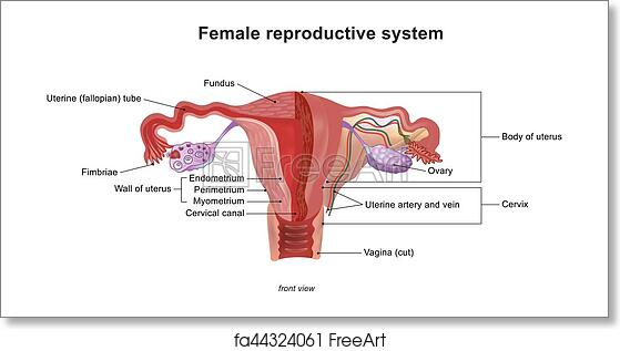 Free art print of The female reproductive system. Illustration ...