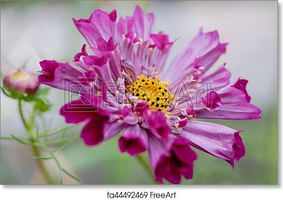 Free art print of fushia pink cosmo flower fushia pink cosmo flower free art print of fushia pink cosmo flower mightylinksfo