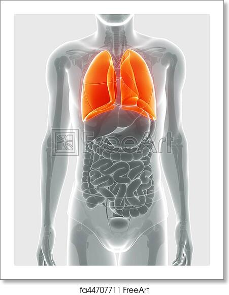Free Art Print Of Human Respiratory System With Lungs Anatomy Of