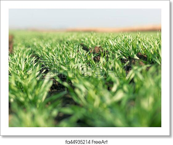 free art print of young wheat seedlings growing in a field young