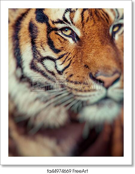 free art print of close up of a tigers face selective focus