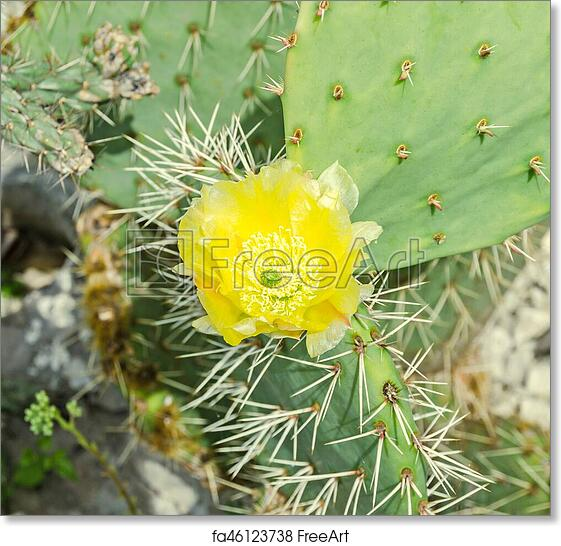 Free art print of yellow flower opuntia humifusa the devils tongue free art print of yellow flower opuntia humifusa the devils tongue eastern prickly pear or indian fig cactus flowers close up mightylinksfo