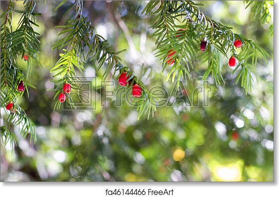 free art print of european yew taxus baccata tree freeart