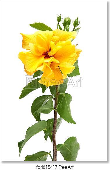Free Art Print Of Yellow Hibiscus Flowers Beautiful Yellow Hibiscus