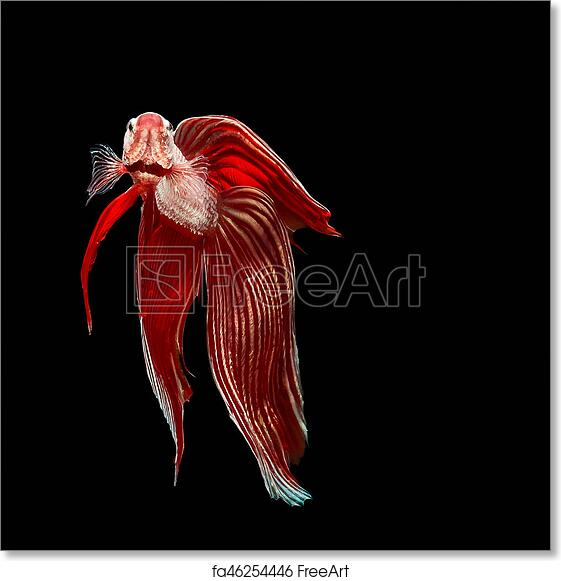 Free art print of Betta fish thailand. Red betta fish, siamese ...