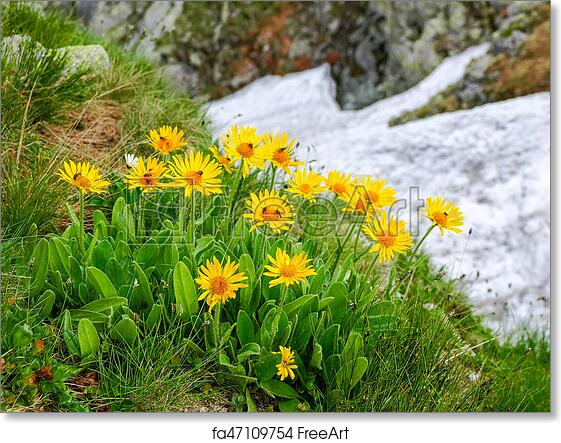 Free art print of Group flowers of the Arnica montana in the Tatra Mountains
