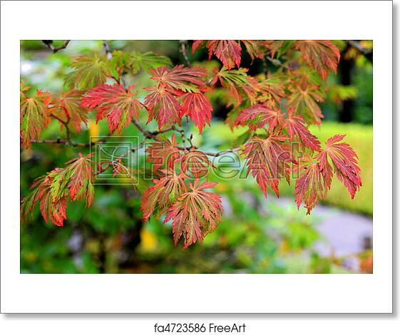 Free Art Print Of Japanese Maple Tree In Fall Colors Maple Tree