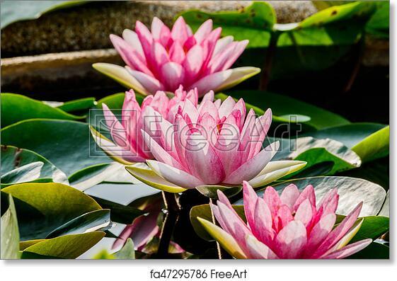 Free Art Print Of Beautiful Pink Waterlily Or Lotus Flower In Pond
