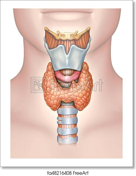 Free Art Print Of Anatomy Of The Thyroid Gland Anatomy Of The
