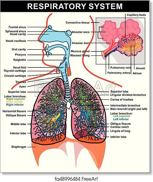 Free art print of Respiratory System Anatomy Diagram. Respiratory ...