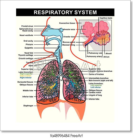 Free art print of respiratory system anatomy diagram respiratory free art print of respiratory system anatomy diagram ccuart Image collections