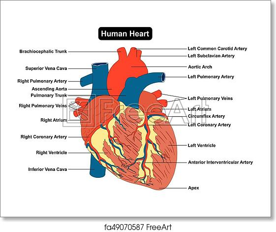 human heart muscle structure anatomy diagram infographic chart diagram with  all parts outside view right left atrium ventricle aorta artery vein supply