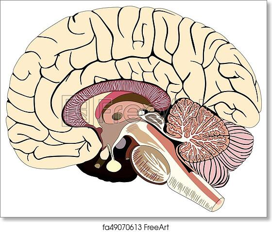 Free Art Print Of Median Section Of Human Brain Diagram  Median Section Of Human Brain Median