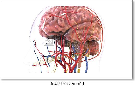 Free art print of 3d illustration of human body brain anatomy. The ...