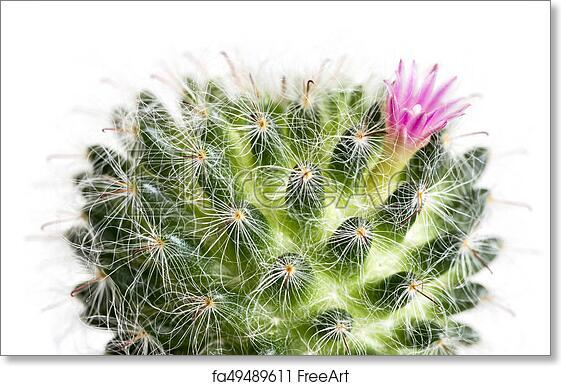 Free art print of macro cactus flower mammillaria bocasana isolated free art print of macro cactus flower mammillaria bocasana isolated on white background mightylinksfo