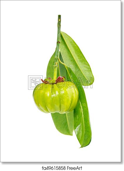 Free Art Print Of Garcinia Cambogia Fresh Fruit Isolated On White Background