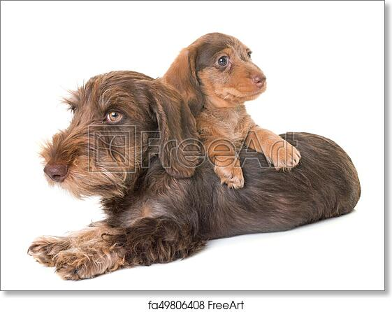 Free Art Print Of Puppies Wire Haired Dachshund Puppies Wire Haired