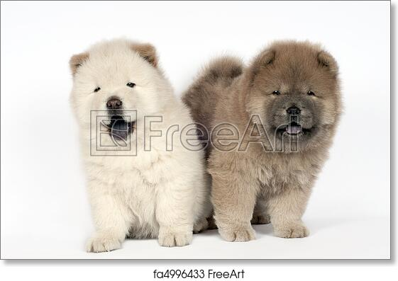 Free Art Print Of Two Chow Chow Puppies Two Chow Chow Puppies In