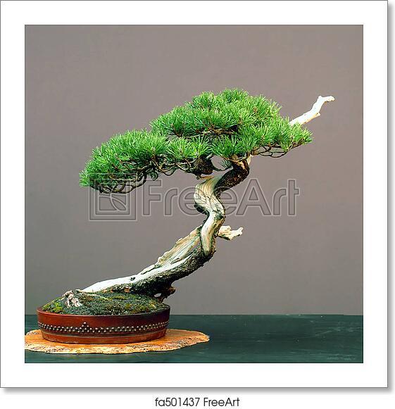 Free Art Print Of Mugo Pine Bonsai Mugo Pine Pinus Mugo Arond 100 Years Old 50 Cm High Collected In Germany Styled By Walter Pall Pot By Peter Krebs Freeart Fa501437