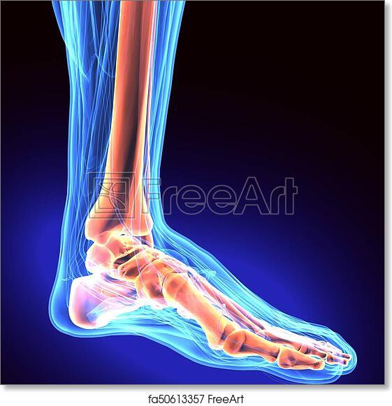 Free Art Print Of Human Foot Anatomy Illustration 3d Render 3d