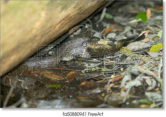 Free Art Print Of Water Snake Eating Catfish At Swamp Water