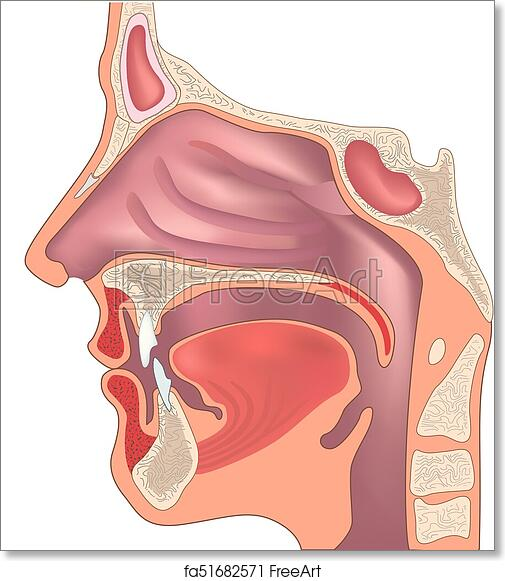 Free Art Print Of Anatomy Of The Nose And Throat Human Organ