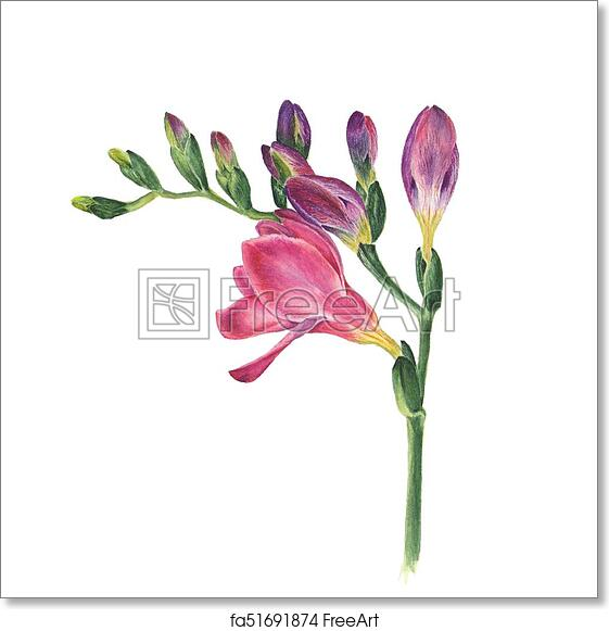 09e9f109c Botanical watercolor illustration of freesia on white background. Could be  used as decoration for web design, polygraphy or textile