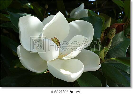 Free Art Print Of Magnolia Flower A Near Perfect Floral Bloom From