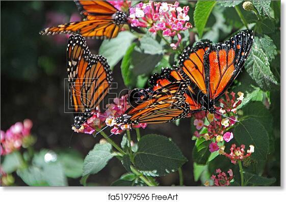 Merveilleux Free Art Print Of Monarch Butterfly At Desert Botanical Garden Phoenix, AZ