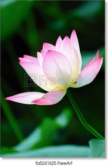 Free art print of lotus flower blooming lotus flower blooming in free art print of lotus flower blooming mightylinksfo
