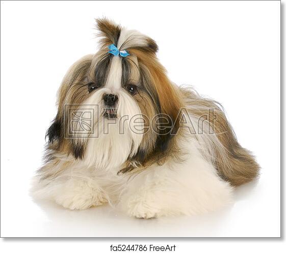 Free Art Print Of Cute Dog Shih Tzu Puppy Wearing Blue Bow Laying