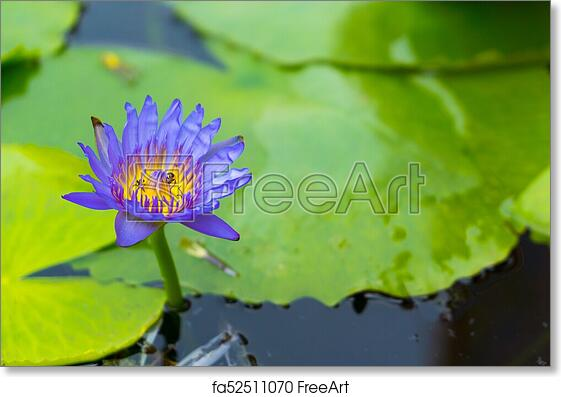 Free art print of blue lotus flower in the pond freeart fa52511070 free art print of blue lotus flower in the pond mightylinksfo