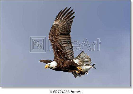 16x20 American Bald Eagle in Flight Bird Animal Wall Decor Art Print Poster