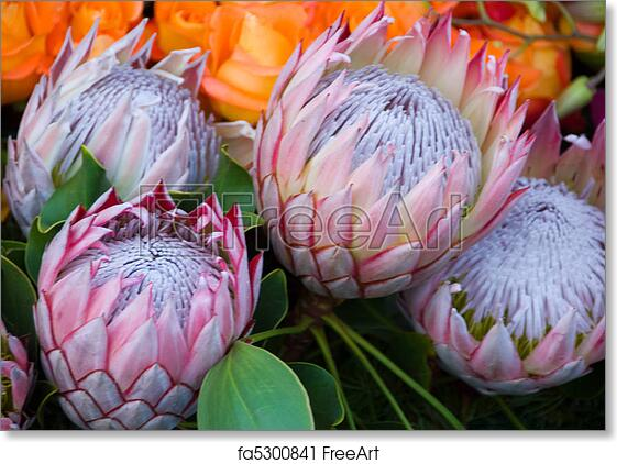 Exotic rare hawaii Pink White Protea cynaroides Flower called Giant Protea, King Protea Honeypot. Its the National flower of South ...