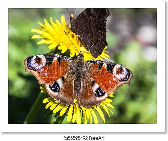 Free Art Print Of Beautiful Peacock Butterfly On A