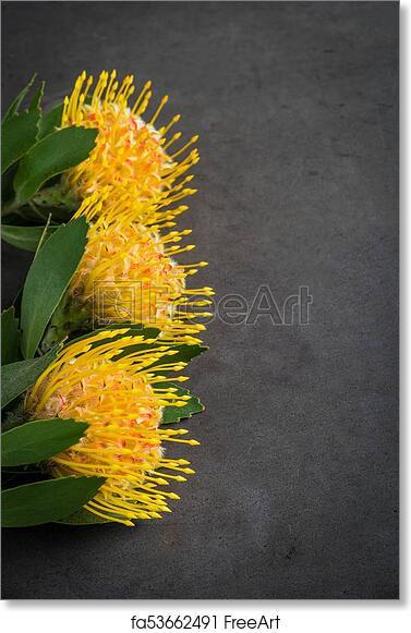 Free Art Print Of Yellow Leucospermum Cordifolium Flower Pincushion Protea