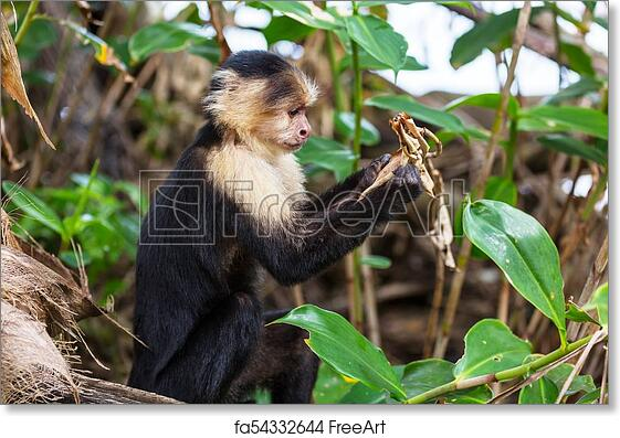 Free art print of Monkey in Costa Rica  White faced capuchin