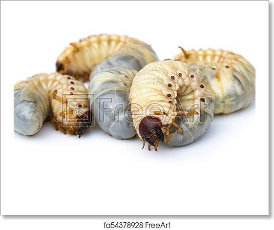 Free Art Print Of Image Of Grub Worms Coconut Rhinoceros Beetle