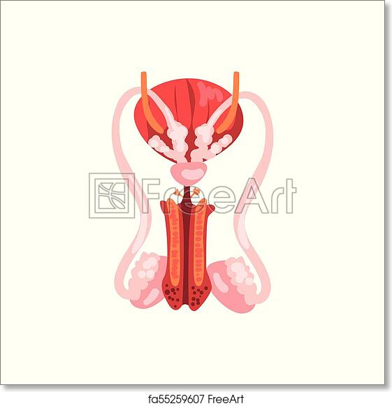 Free Art Print Of Male Reproductive System Human Internal Organ
