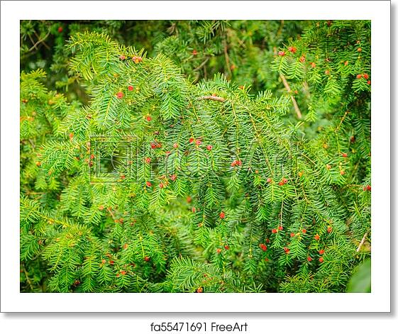 free art print of european yew taxus baccata is a conifer native to