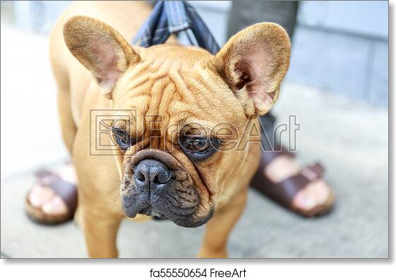 Free Art Print Of French Bulldog Puppy Male Brown Cute Frenchie