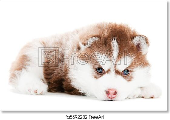 Free Art Print Of Siberian Husky Brown Puppy Isolated Portrait Of