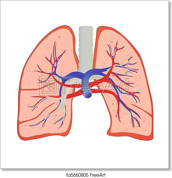 Free Art Print Of Human Lung Vector Illustration Of Isolated Human