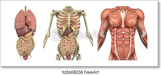 Free art print of Anatomical Overlays - Male Torso with Organs. A ...