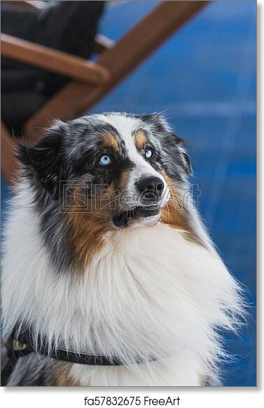 free art print of portrait of blue merle border collie with blue