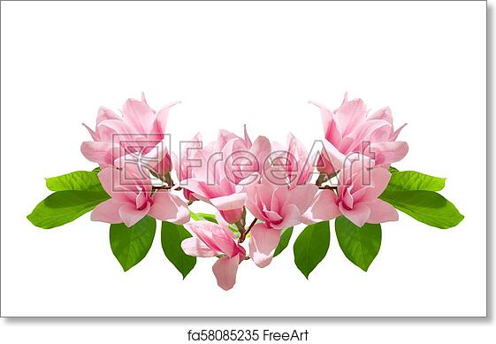 Free Art Print Of Pink Magnolia Flowers Isolated On White Background