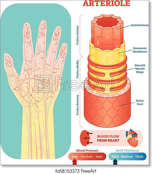 arteriole anatomical vector illustration cross section circulatory system blood vessel diagram scheme on human hand silhouette medical educational information?units=in&ph=8.0&pw=8.0&fit=True free art print of arteriole anatomical vector illustration cross