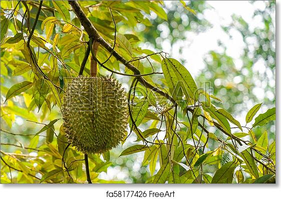 Free art print of Durian the King of Fruit on the Durian Tree Branch