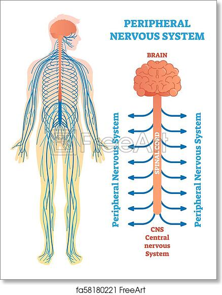 free art print of peripheral nervous system, medical vector Spinal Column Diagram free art print of peripheral nervous system, medical vector illustration diagram with brain, spinal cord and nerves freeart fa58180221