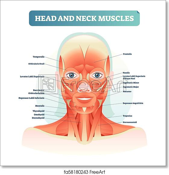 Free Art Print Of Head And Neck Muscles Labeled Anatomical Diagram